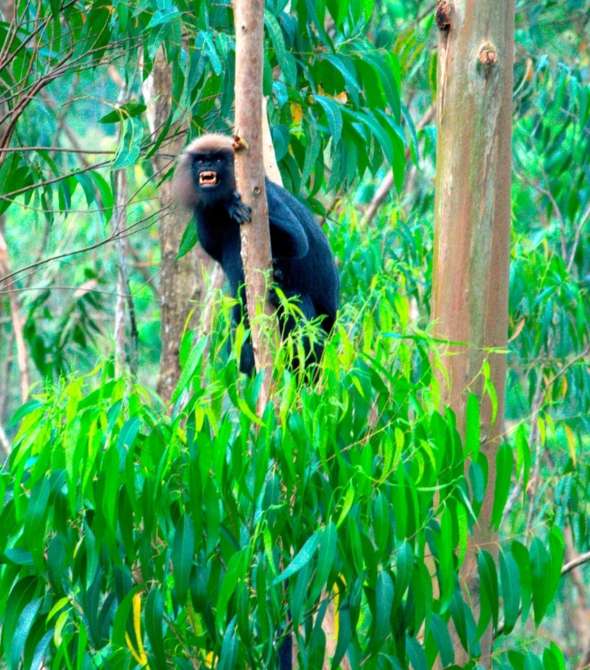 trip around kerala - lion tailed macaque